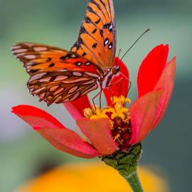 Patti Deters - Butterfly Gulf Fritillary