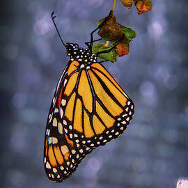Butterfly Hanging From Leaf - Garry Gay