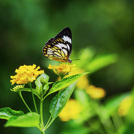 Vishwanath Bhat - Butterfly on a flower