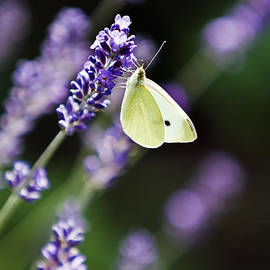 Dan Radi - Butterfly On A Lavender Flower
