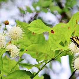 Cynthia Guinn - Butterfly On Buttonbush