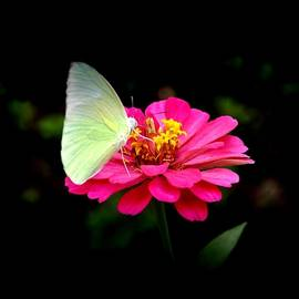 Bliss Of Art - Butterfly on Pink
