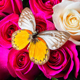 Butterfly On Red White Roses - Garry Gay