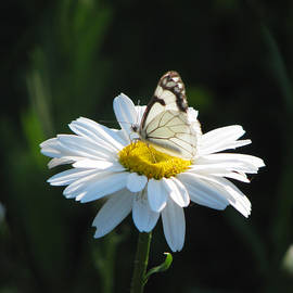 Brooks Garten Hauschild - Butterfly on Shasta Daisy