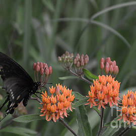 Donna Brown - Butterfly Weed And Pipevine Swallowtail Butterfly