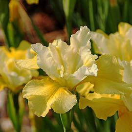 Debbie Oppermann - Buttery Iris
