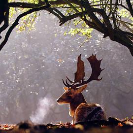 Roeselien Raimond - C-c-c-cold Breath - Fallow Deer Buck