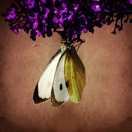 Colin Hunt - Cabbage White Butterfly