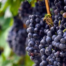 Kristina Deane - Cabernet Wine Grapes