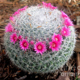 Sofia Goldberg - Cactus ball with pink flowers
