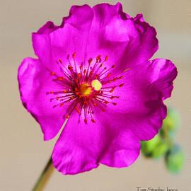 Tom Janca - Calandrinia Flower