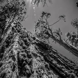 LeeAnn McLaneGoetz McLaneGoetzStudioLLCcom - Calaveras Big Trees State Park Monochrome