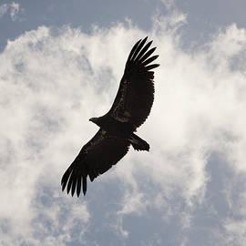 David Gordon - California Condor in Flight