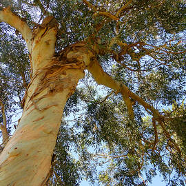 Tina M Wenger - California Eucalyptus Tree
