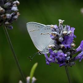 Morgan Wright - California Hairstreak Butterfly