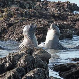 Donna Kennedy - California Happy Seals
