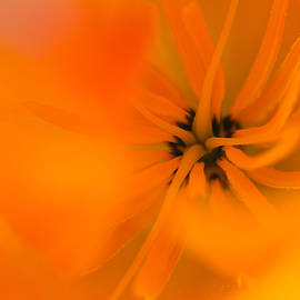 Mo Barton - California Poppy Detail 2