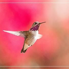 Lynn Bauer - Calliope Hummingbird