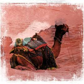 Sue Jacobi - Camel Sand Dunes Thar Desert Rajasthan India 2a