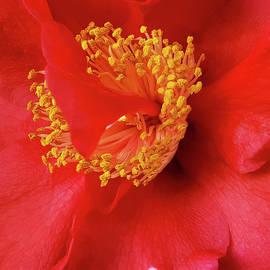 Tran Boelsterli - Camellia