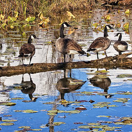 Marcia Colelli - Canada Geese