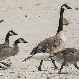 Bruce Frye - Canada Goose and Goslings