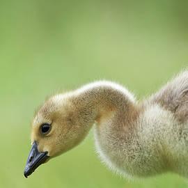 Jestephotography Ltd - Canada Goose Gosling - Fuzz
