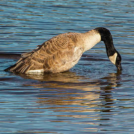 Venetia Featherstone-Witty - Canada Goose Reflections