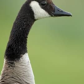 Jestephotography Ltd - Canada Goose - Up Close