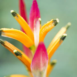 Sharon Mau - Candy Colours - Heliconia Tropical Flower