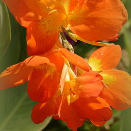 Linda Covino - Canna bloom