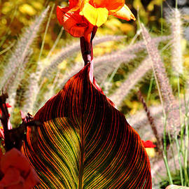 G Berry - Canna Lily