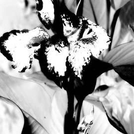 Jane Gatward - Canna Lily In White