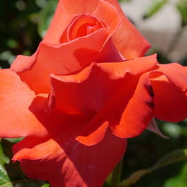 Christiane Schulze Art And Photography - Cape Cod Rose