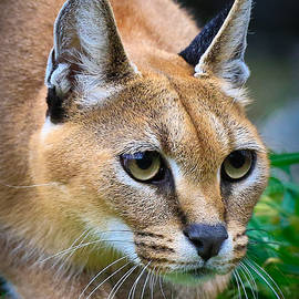 Athena Mckinzie - Caracal Feline On The Prowl