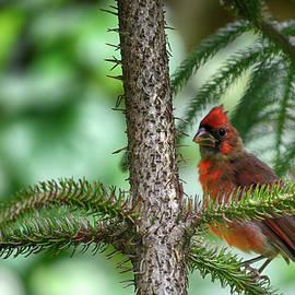 Dick Hudson - Cardinal in a Fir Tree