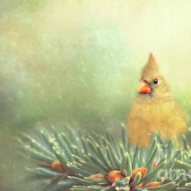 Pam  Holdsworth - Cardinal on Evergreen Branch