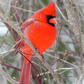 Stephanie Forrer-Harbridge - Cardinal Red Winter
