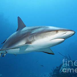 Norbert Probst - Caribbean Reef Shark