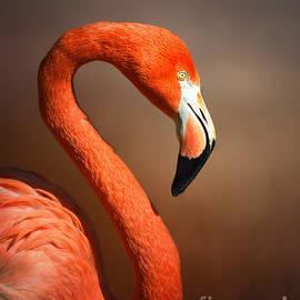 Caribean flamingo portrait - Johan Swanepoel