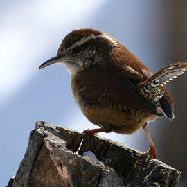 Enola-Gay Wagner - Carolina Wren