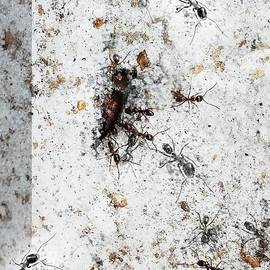Janal Koenig - Carpenter Ant Layers