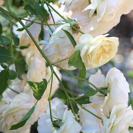 Carol Groenen - Cascading White Roses