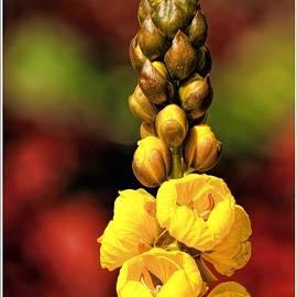 Geraldine Scull   - CASSIA didymobotrya Popcorn Bush