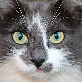 Sergey Lukashin - Cat with piercing eyes