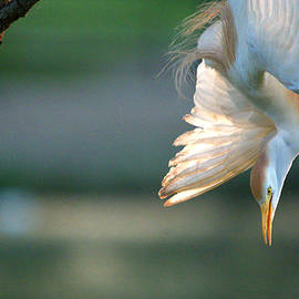 Roy Williams - Cattle Egret Diving Towards The Lake