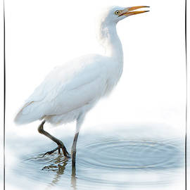 Ronel Broderick - Cattle Egret on White Background