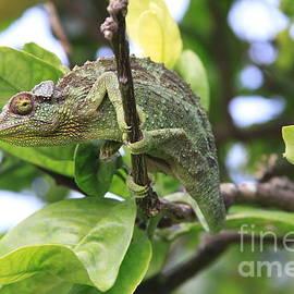 Robin Maria  Pedrero - Chameleon on branch