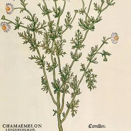 Chamomile - Leonhart Fuchs