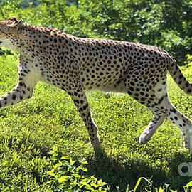 Gary Gingrich Galleries - Cheetah-1211